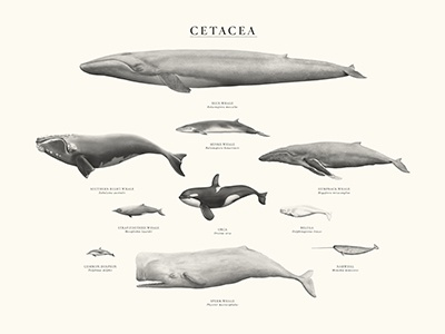 Cetacea whales dolphins cetacea cetaceans blue whale orca humpaback whale beluga narwhal