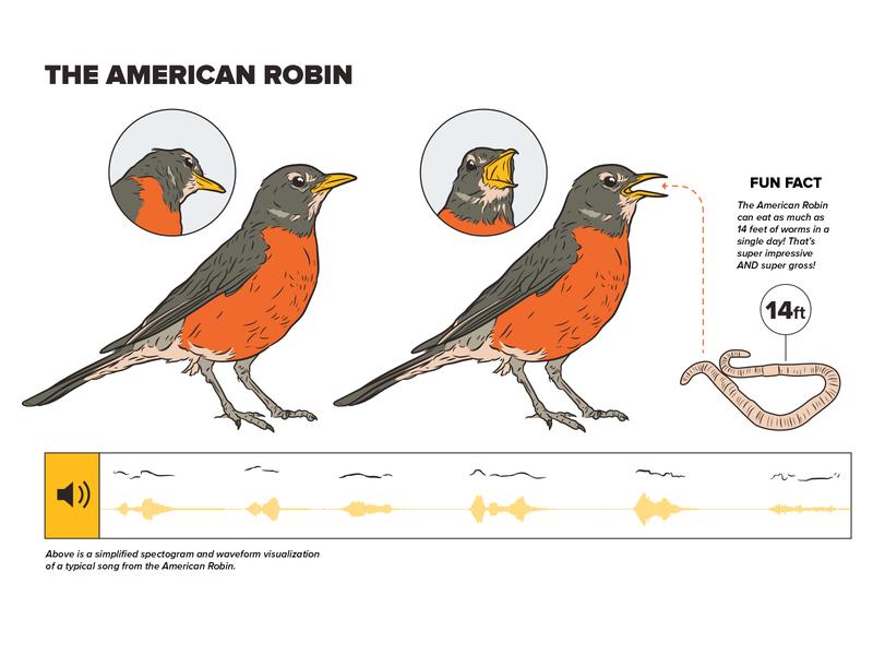 American Robin scientific illustration technical illustrator design technical illustration adobe illustrator illustration diagram infographic robin bird