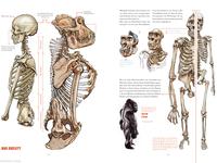 Gorilla anatomy overview