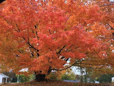 Fall Foliage - Salmon fall leaves fall foliage pennsylvania fall colors