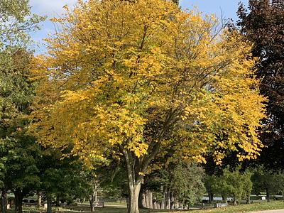 Fall Foliage - Yellow pennsylvania fall colors fall leaves