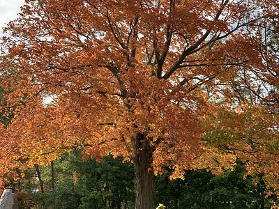 Fall Foliage - Orange pennsylvania fall leaves fall colors fall foliage