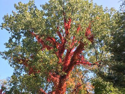Fall Foliage - Red and Green pennsylvania red vine fall leaves fall colors fall foliage