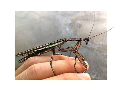 Bostonian Mantis insect procreate illustration drawing bug