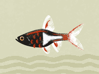 Rasbora Illustration
