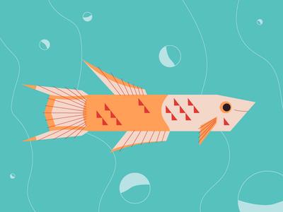 Lyretail Killifish