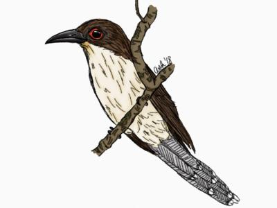 Coccyzus erythropthalmus