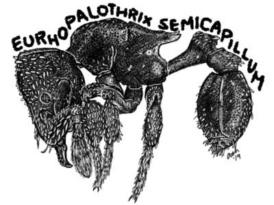 Eurhopalothrix semicapillum