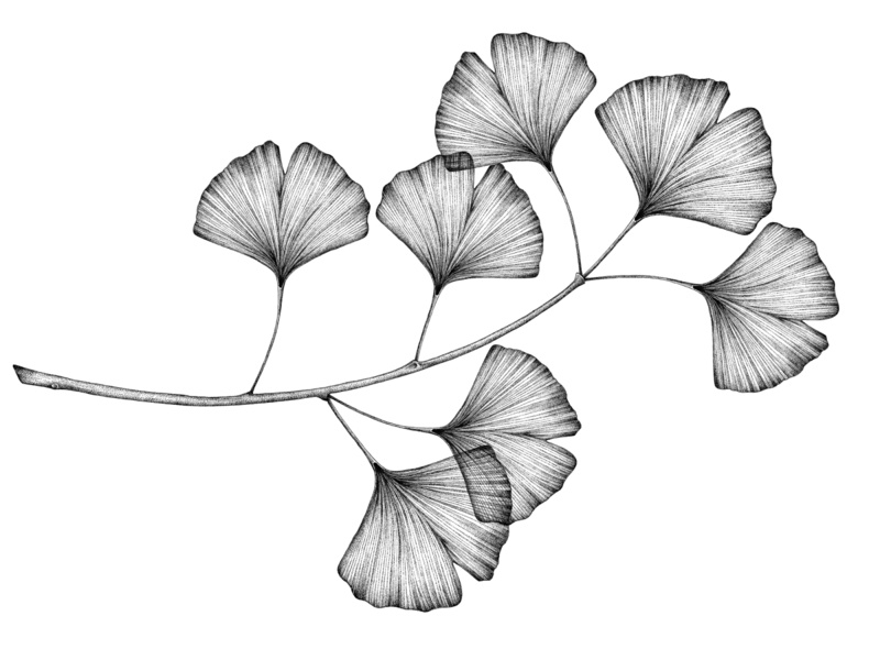 Ginkgo branch - © by the ink - Cécile Ollichon