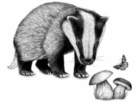 Le blaireau - the badger © by the ink - Cécile Ollichon