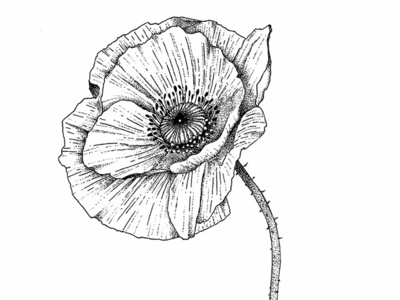 Poppy - © by the ink - Cécile Ollichon flower ink drawing black  white ink pen drawing inkdrawing illustration dotwork ink art naturalista nature poppies poppy
