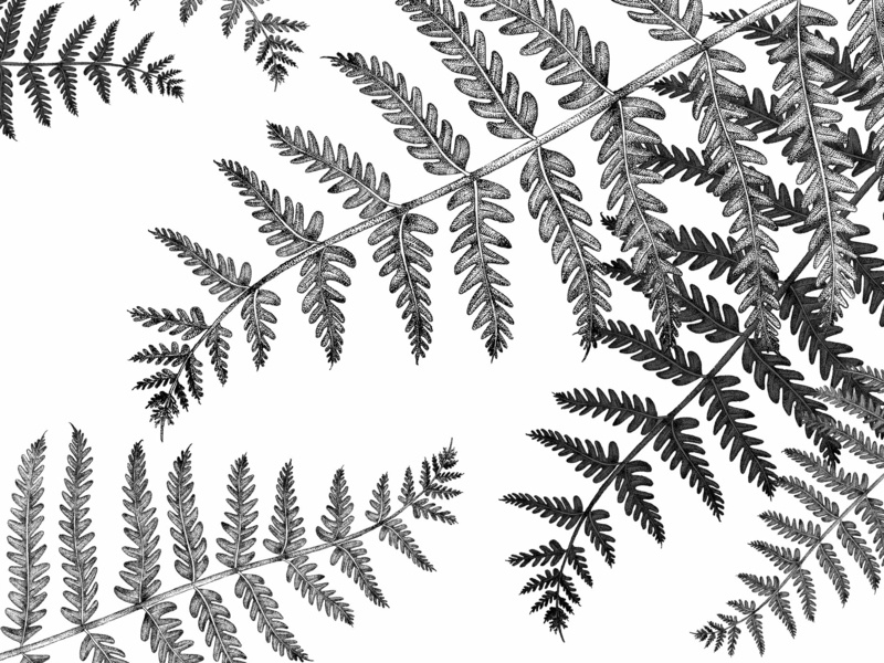 Ferns - © by the ink - Cécile Ollichon