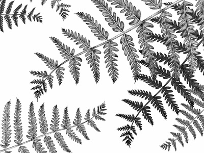 Ferns - © by the ink - Cécile Ollichon naturalista blackandwhite drawing dotwork art nature ink drawing ink pen black  white ink art inkdrawing illustration fern ferns