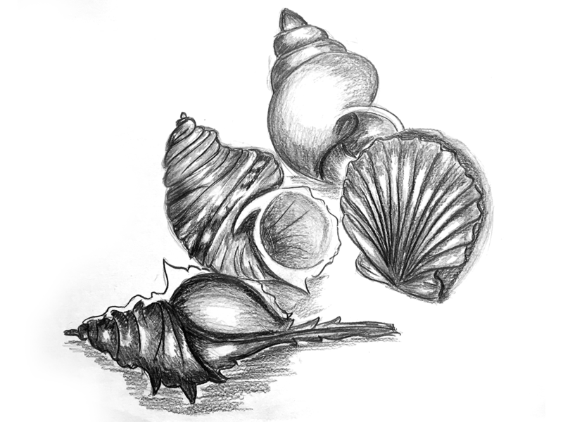 Seashell Sketch sketch illustration 2d design creative artwork art