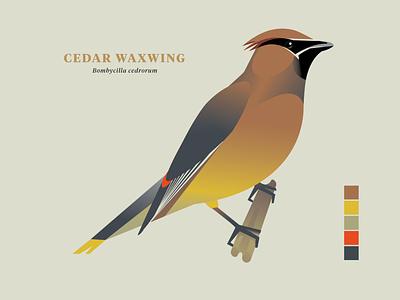 Cedar Waxwing, Birds of the Smokies bird illustration avian bird watching ornithology smoky mountains birds