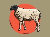 Baluchi Sheep
