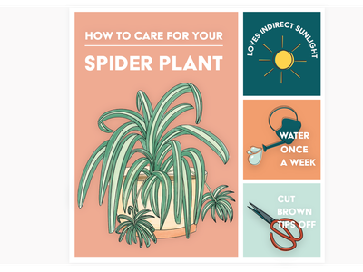 Spider plant care card floral illustration plant plant pot bold print icon design how to spiderplant graphic design icons floral nature illustration infographic infograph plant care houseplants houseplant illustration