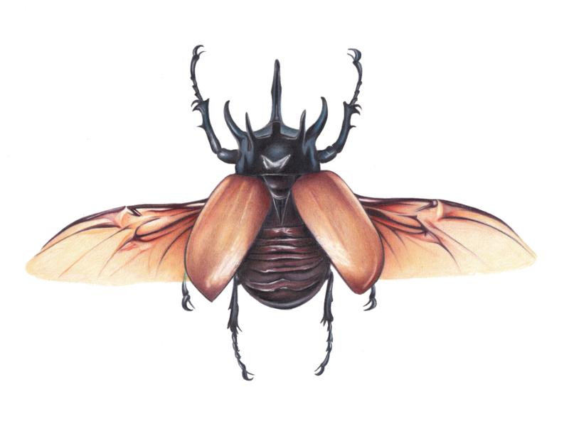 Rhino Beetle colour pencil entomology illustration scientific illustration