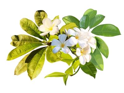 Plumeria flower on white background - Vector