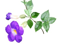 Thunbergia Erecta flower vector illustration