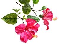 Hibiscus flower seamless vector illustration