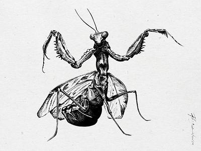Drawing mantis - Illustration scanned pen ink drawing ink drawing mantis scanned illustration design
