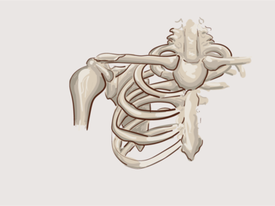 clavicle (fracture) bones adobe illustrator illustration