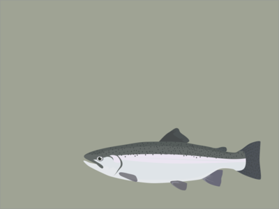 Steelhead sketch illustration steelhead fishing trout