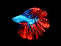 Fighter fish illustration
