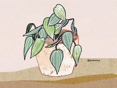 Peperomia Illustration