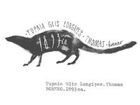 Tupaia glis