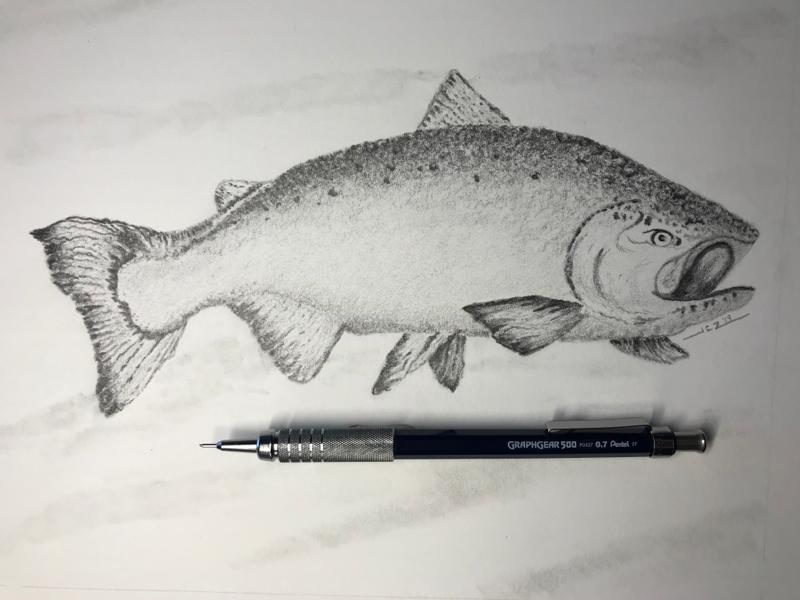 Salmon (2019) sketch graphite pencil pacific northwest wildlife fish salmon