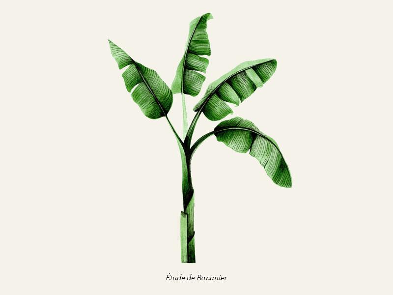 Étude de bananier tree artwork drawing