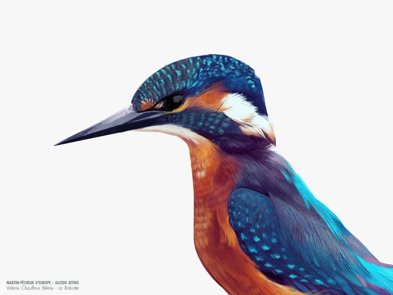 Naturalist drawing digital art birddrawing bird