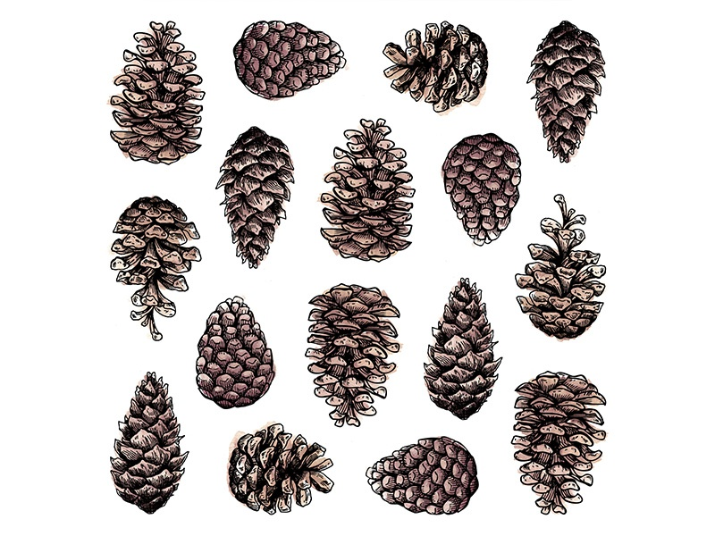 Pinecones illustration drawing ink watercolor pattern pinecones