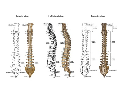 Anatomical Vector Illustration