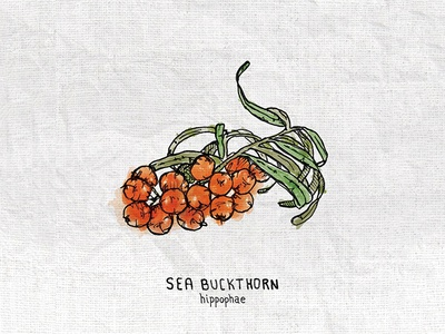 Sea Buckthorn Illustration