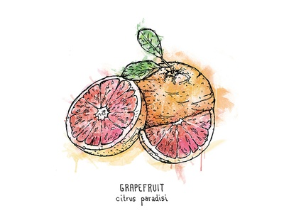 Grapefruit Illustration