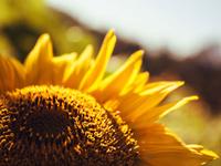 Snead Sunflower