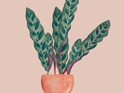 Calathea lancifolia nature calathea rose green plants illustration design