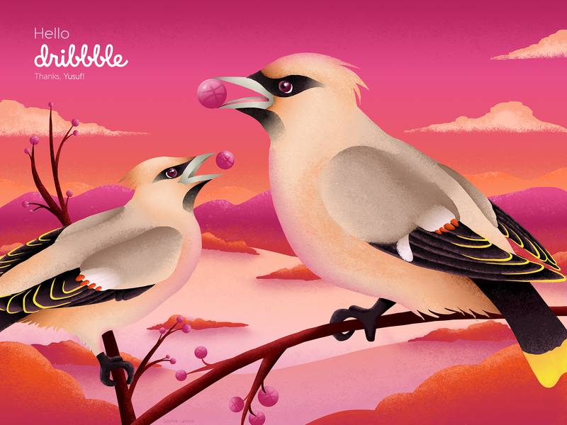 Hello Dribbble! invites wildlife vector illustration vectors animal pink bird waxwing sunset illustration debut first shot hello dribbble hello