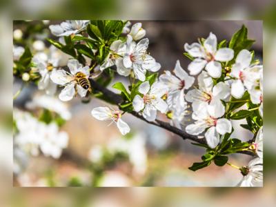 Bee Harvest Polen From Flower