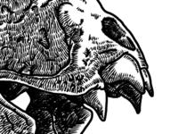 Vampire bat skull, take #2