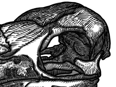 African Pied Hornbill skull