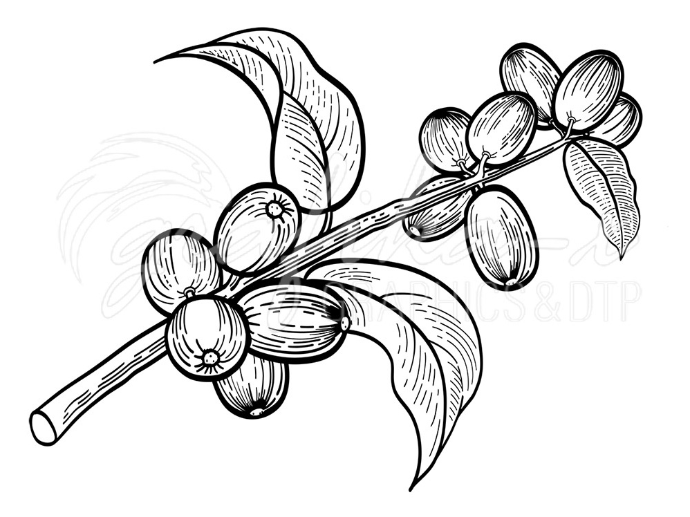 Coffee tree twig adobe illustrator