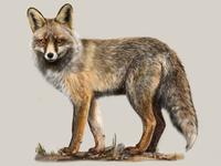 Iberian red fox (Vulpes vulpes silacea) affinity designer scicomm scientific illustration digital painting fox