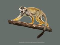 Humboldt's squirrel monkey (Saimiri cassiquiarensis) illustration affinity designer monkey digital painitng scientifi illustration