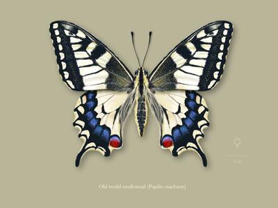Female old world swallowtail butterfly (Papilio machaon). insect scientific illustration entomology butterfly affinity designer illustration