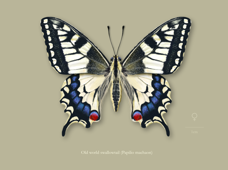 Female old world swallowtail butterfly (Papilio machaon).