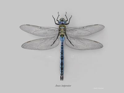 Male emperor dragonfly (Anax imperator) scientific illustration digital painting photoshop emperor dragonfly anax imperator dragonfly